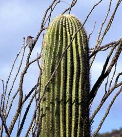 he Sonoran Desert teems with life.
